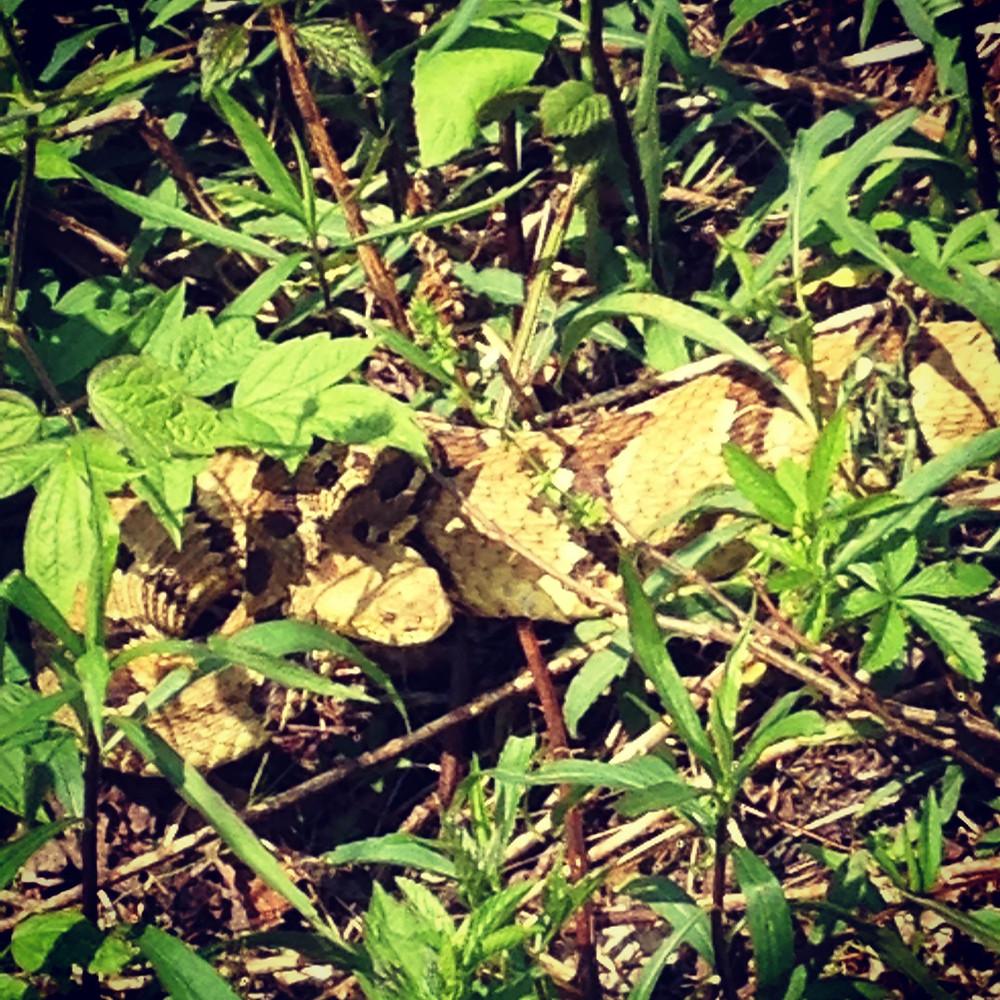 Timber Rattlesnake_Elijah Davis.jpg
