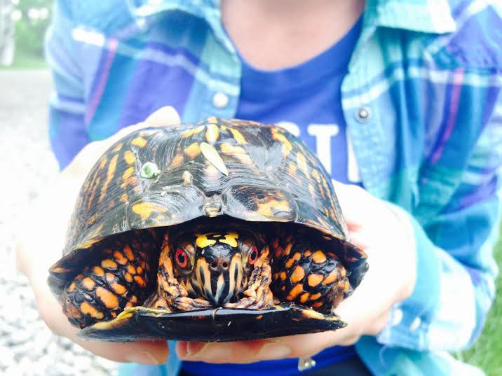 Ohio Eastern Box Turtle_Pam Stampul.jpg