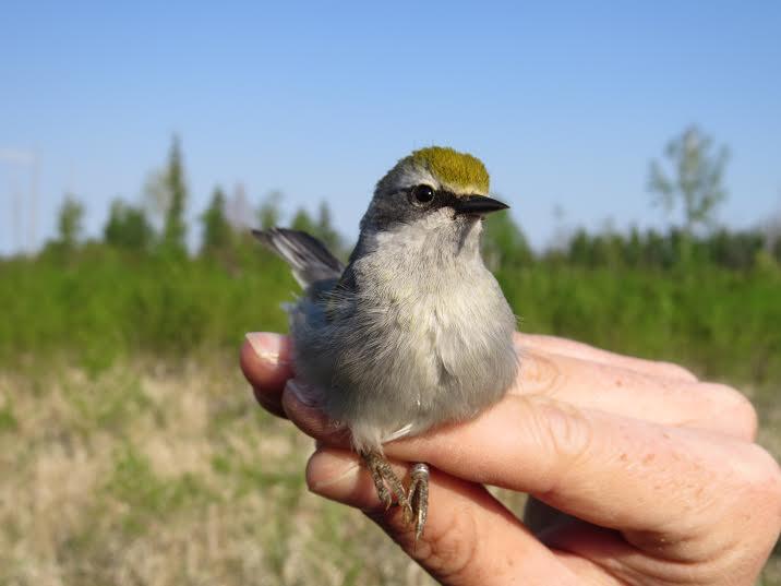 Female hybrid_Manitoba.jpg