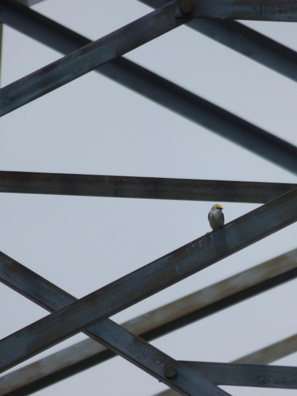 Brewster's Warbler on power line tower in Ontario.jpg