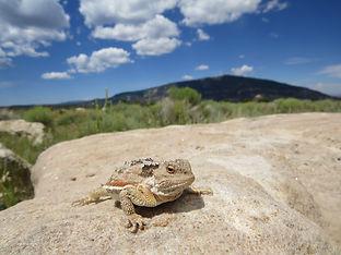 Epic horned lizard pic.jpg