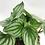 Thumbnail: Peperomia argyreia