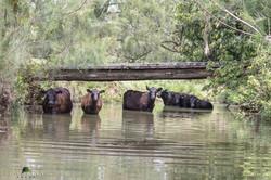 Angus cows/calves | Lyncoranne Angus