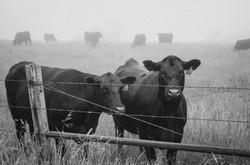 Angus cows | Lyncoranne Angus