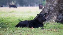 Angus calf | Lyncoranne Angus