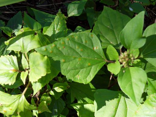 CSIRO - Crofton Weed Rust Release