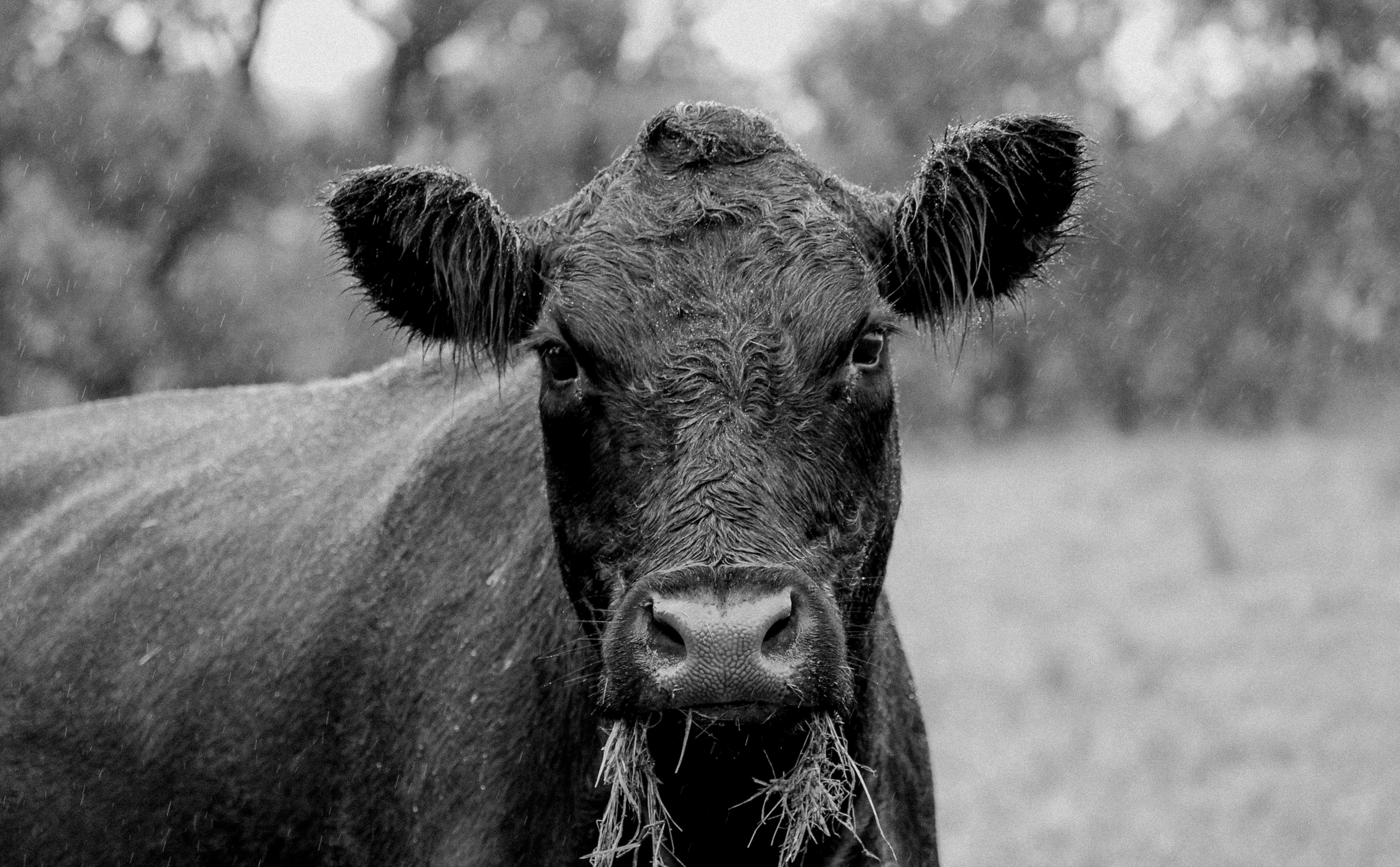 Angus cow | Lyncoranne Angus