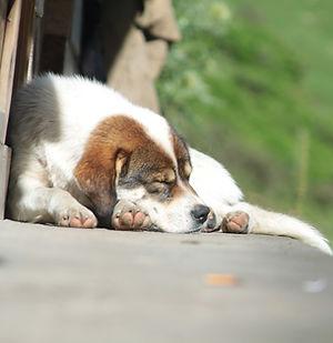 אנמיה מפרעושים | פרעושים בכלבים