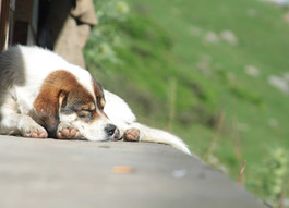 Sleepy Dog: Whatcha' Dreaming About?