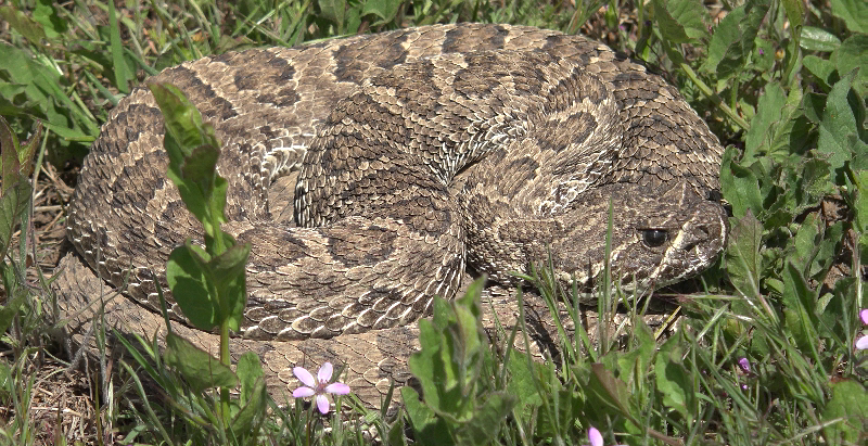 Rattlesnake Myths Debunked!
