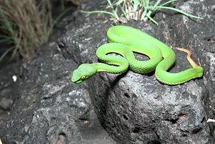 Green Pit Viper 2 edited.jpg