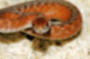 Storeria d. wrightorum.jpg