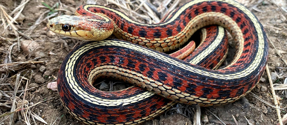 Herpetology Course for Adults!