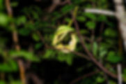 Florida Rough Greensnake - Josh Young.jpg