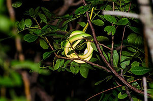 Florida Rough Greensnake - Josh Young.jpg