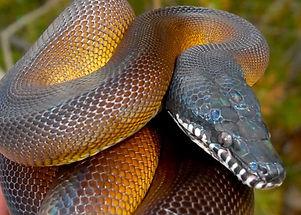White-lipped Python.jpg