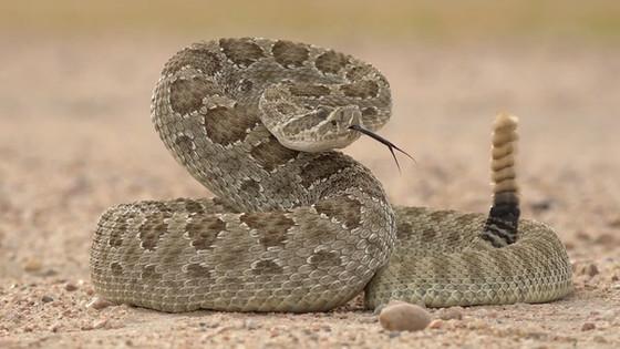 Happy Rattlesnake Friday!