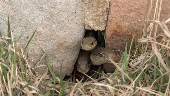 Center for Snake Conservation Membership Drive