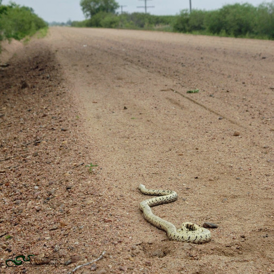 Snakes On Roads