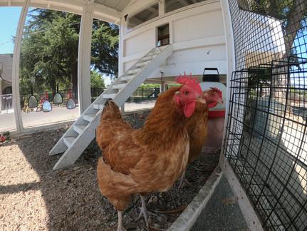 Chicken Coop_ Bill's Chicks.JPG