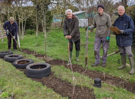 Setting up rootstock stools