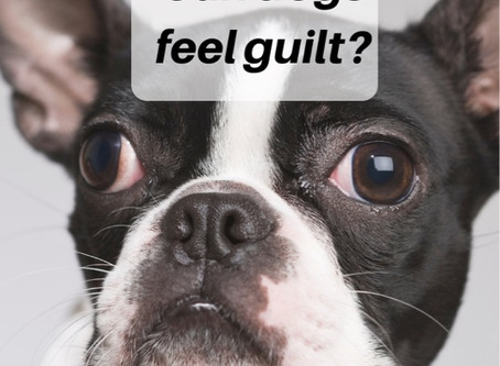 Can dogs feel guilty?