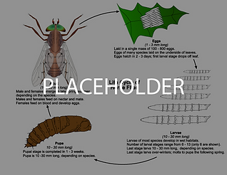 horsefly-lifecycle-01.png