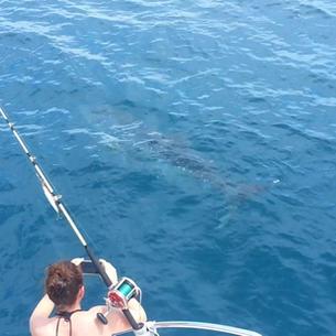mitsegeln Seychellen, Walhai