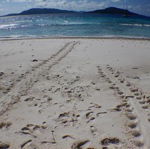 Seychellen, Wasserschildkroete ging an Land, nach Eiablage zurueck ins Wasser
