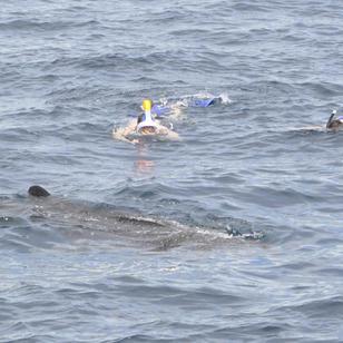 schnorcheln mit Walhai, ganz besonderes Erlebnis, mitsegeln Seychellen