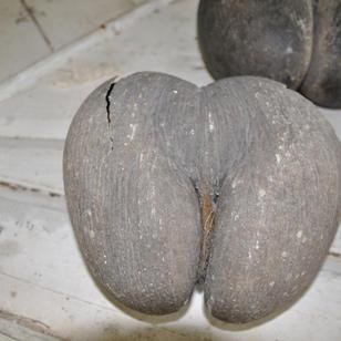 segeln Seychellen, woran erinnert euch diese Coco de Mer?