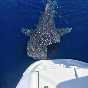 Seychellen Segeltoern, Walhai kommt zu unserem Schiff
