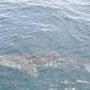 junger Walhai besucht uns