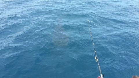 Walhai kommt zu unserem Schiff, bei manchen Toerns koennen wir auhc mit diesen tollen Fischen schwimmen, gutmuetige Riesen