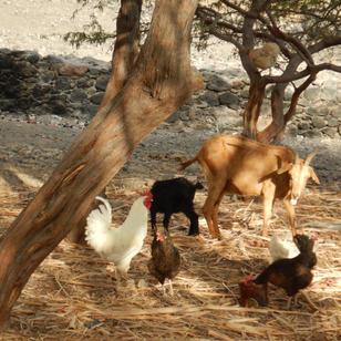 so wie es urspruenglich auhc bei ujns mal war, die Huener komen nur zum fressen auf den Boden, sitzen sonst in den Baeumen