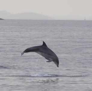 mitsegeln, Kroatien, Delfine