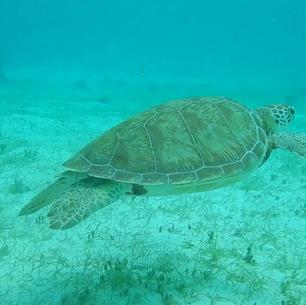 Schildkröte in Tobago Cays