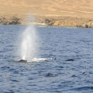 mitsegeln Kapverde Buckelwale