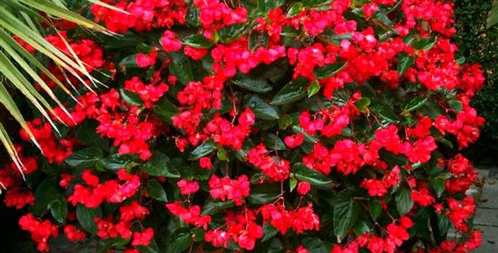 Begonia dragon różne kolory