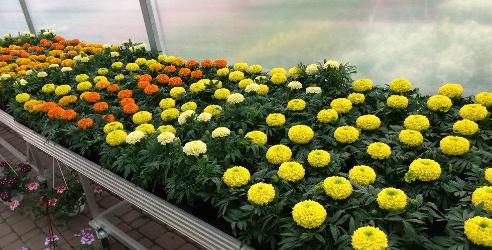 Aksamitka wielkokwiatowa różne kolory