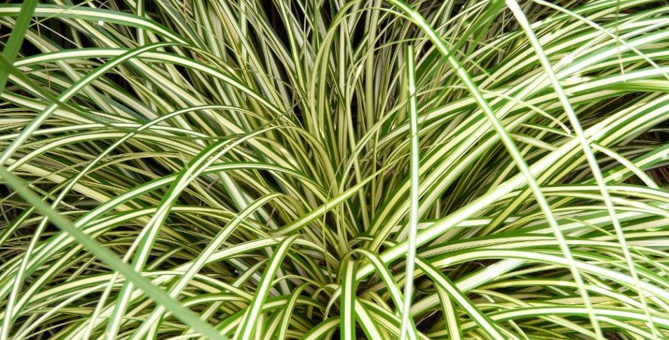 Trawa turzyca Evergold
