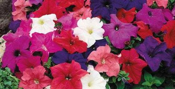 Petunia stojąca różne kolory