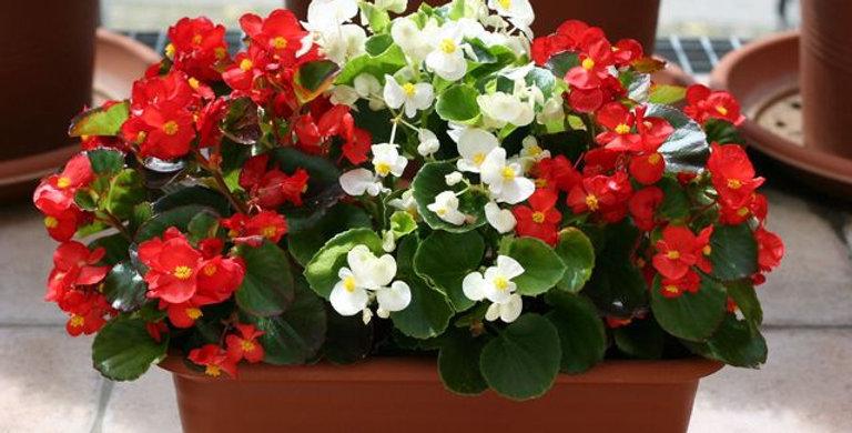 Begonia stale kwitnąca różne kolory