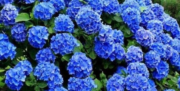 Hortensja ogrodowa różne kolory