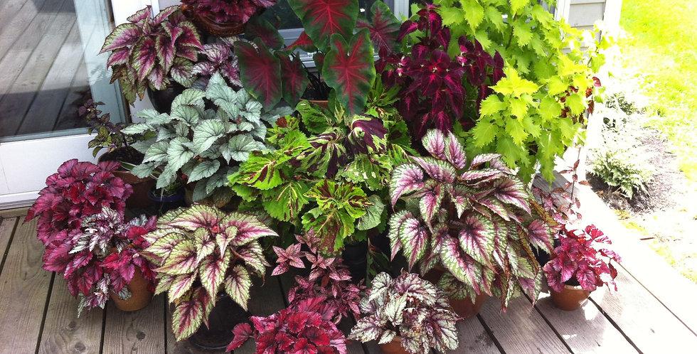Begonia królewska różne kolory