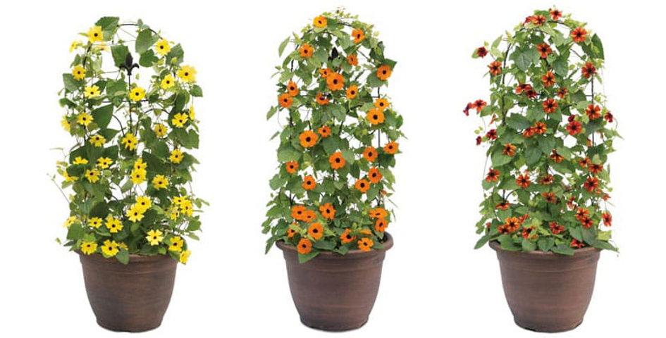 Tunbergia różne kolory