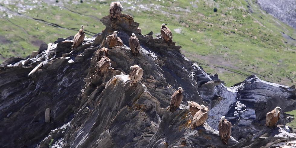 Comptage des vautours sur dortoirs