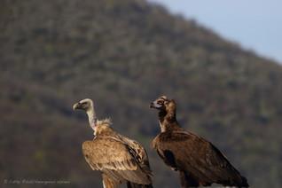 Vautour moine er vautour fauve