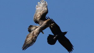 Aigle royal et grand corbeau CC