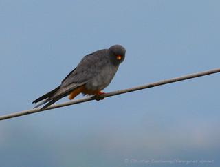 Faucon Kobez mâle
